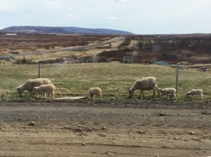 Sheep at the residency